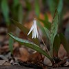Trout Lilly - #1