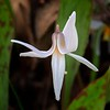 Trout Lilly - #3