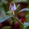 White Trout Lily - #5