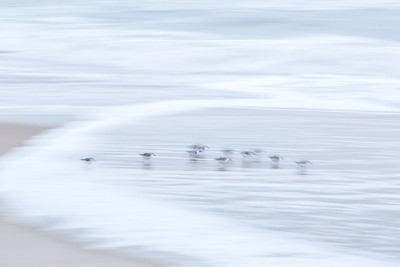 Sanderlings in the Surf #2