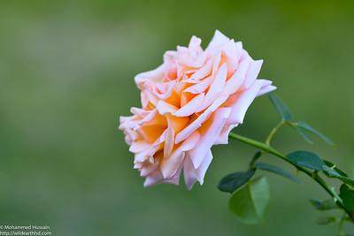 Tea Rose (Apricot Blend), Colorado