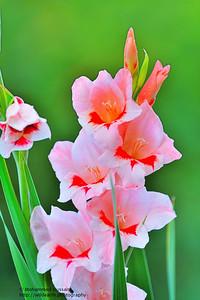 Pink Gladiolus  - Colorado