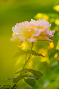 Dreamy Tea Rose