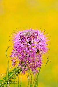 Cleome serrulata -Rocky Mountain Bee Plant - Colorado