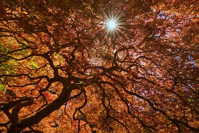 Japanese Maple Tree -  Portland Japanese Garden, OR