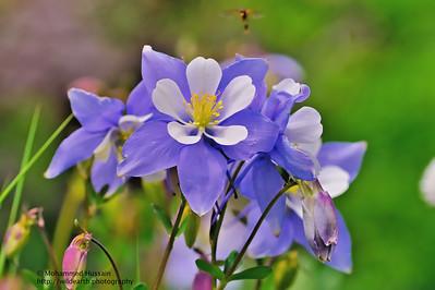 Rocky Mountain Columbines ( (Columbine Aquilegia caerulea)  Colorado State Flower - James Peak Wilderness, Colorado