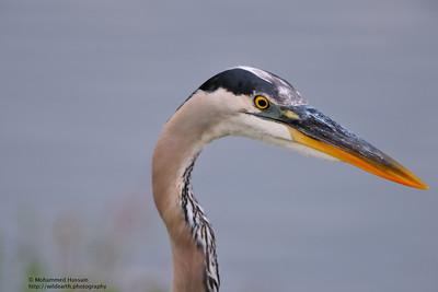 Great Blue Heron ~  Venice Rookery, Venice, FL