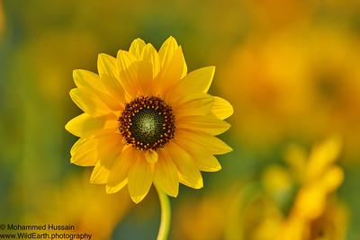 Sunflower, Near DIA, CO