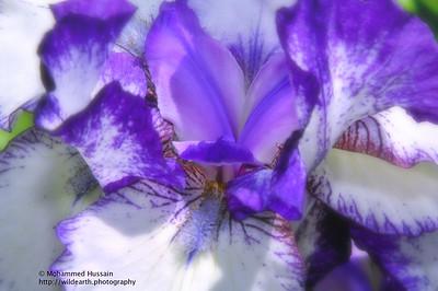Purple & White  Iris