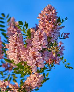 Legumes desert flowers