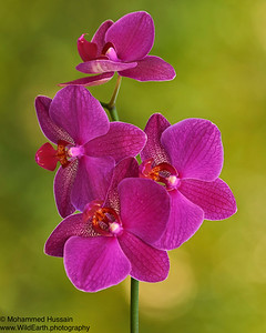 Purple Orchids - True Queen