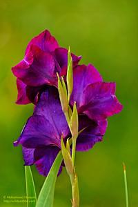 Purple Princes (Gladiolus)