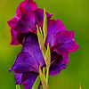 Purple Princes (Gladiolus)