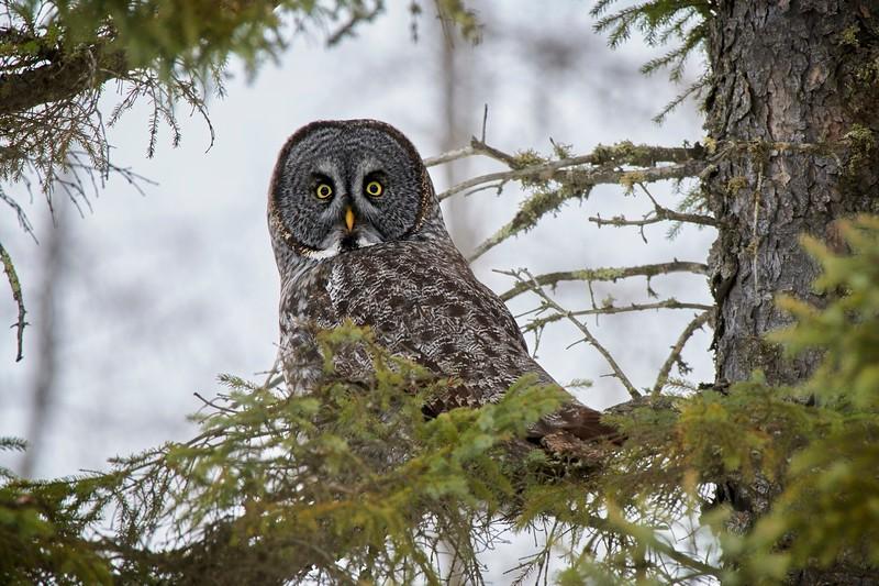 Great Grey Owl - #2