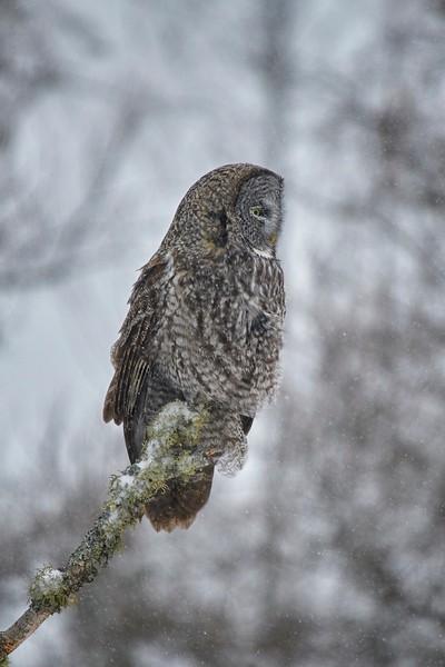Great Grey Owl - #6