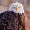 Bald Eagle (in captivity)