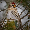 Common Redpoll - #3