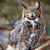 Great Horned Owl (in captivity)
