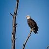 American Bald Eagle Looking for a Meal
