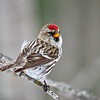 Common Redpoll #4
