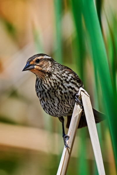 Red-winged Blackbird - #1
