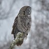 Great Grey Owl - #6