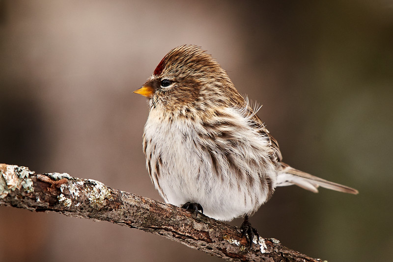 Common Redpoll - #4
