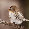 Common Redpoll - #1