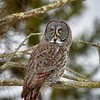 Great Grey Owl #4