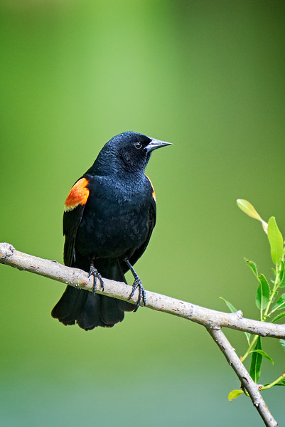 Red-winged Blackbird - #2