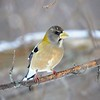 Evening Grosbeak - #1