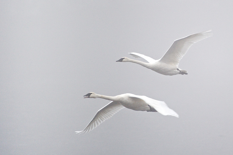 Trumpeter Swans Emerging from the Fog