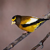 Evening Grosbeak - #2