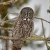 Great Grey Owl - #4