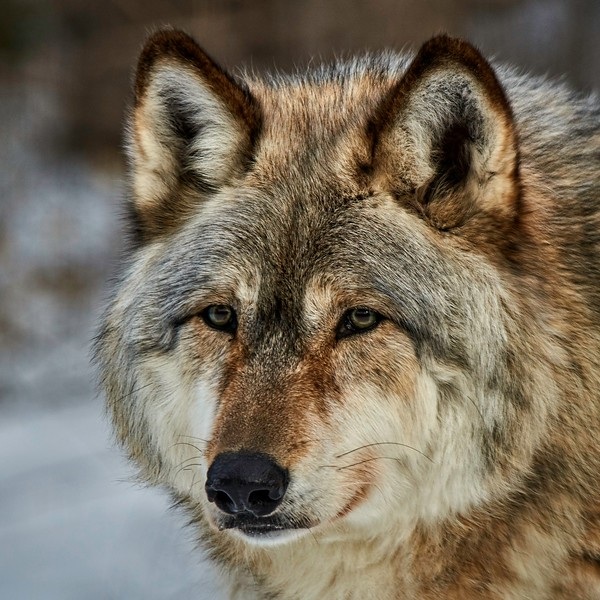 Timber Wolf  #2