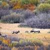 Elk in Rutting Season