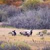 Elk in the Tetons