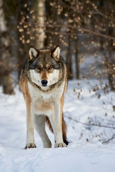 Timber Wolf #3