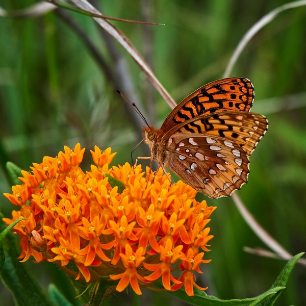 Great Spangled Fritillary - #2