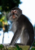 Long-tailed macaques at the Sacred Monkey Forest in Ubud