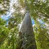 Omahuta Kauri Sanctuary