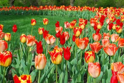 Tulip Envy @ Inniswood