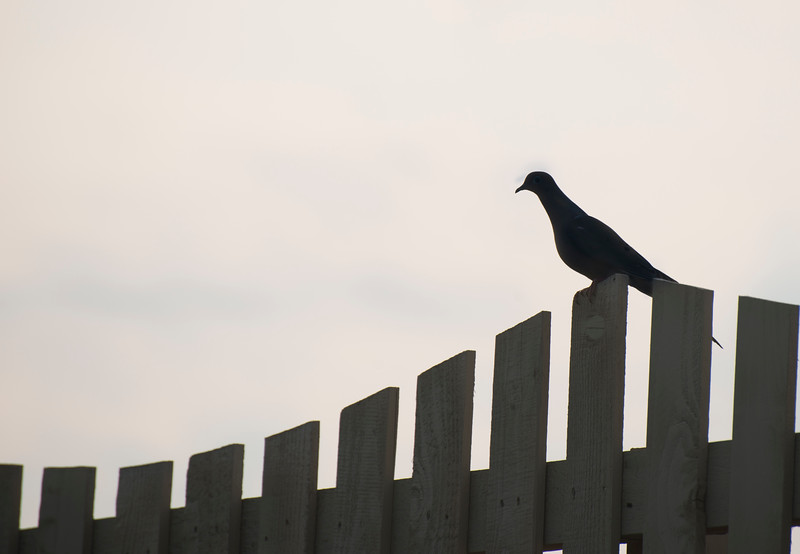Lonely Morning Dove