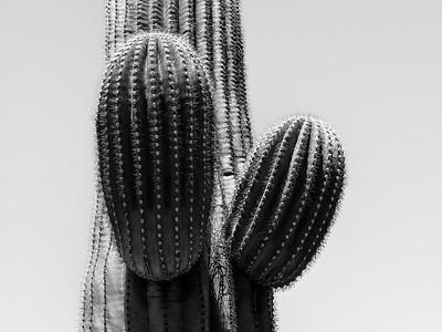 Saguaro #1