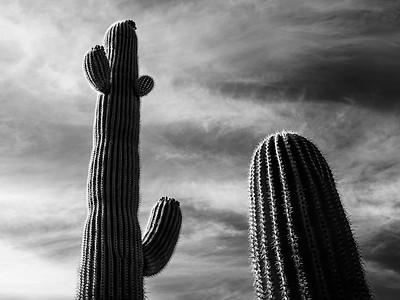 Saguaro Companions