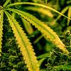 Cannabis Rising