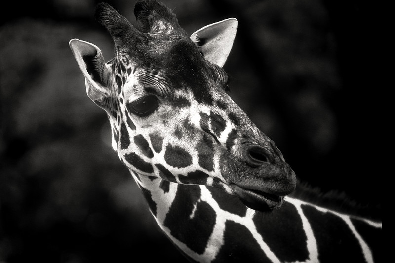 animal portraits bw  11©