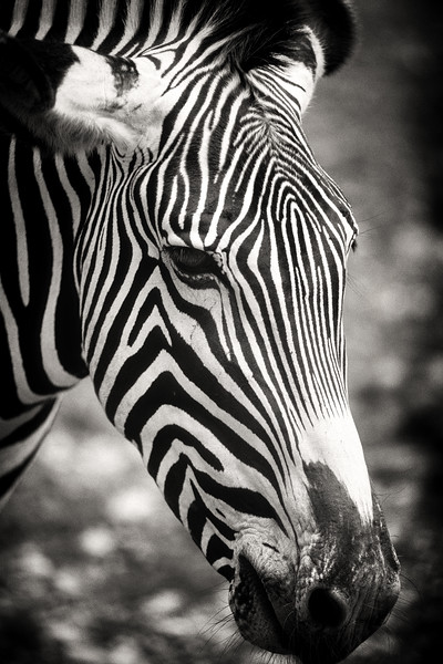 animal portraits bw  12©