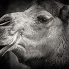 animal portraits bw  02©