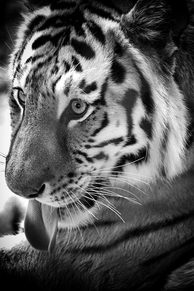 animal portraits bw  07©